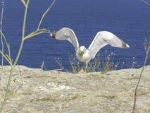 Mouette à Formentera Photos stock