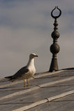 Mouette à Istanbul Image stock