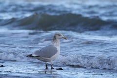 Mouette à la plage photographie stock libre de droits