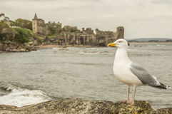 Mouette à St Andrews Castle Photographie stock