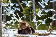 Mouette à tête noire de mouettes et mâle adulte d'ours de Brown photographie stock libre de droits