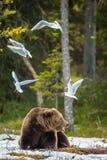 Mouette à tête noire de mouettes et mâle adulte d'ours de Brown photographie stock