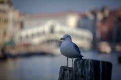 Mouette à Venise Image libre de droits