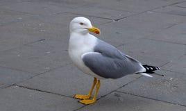 Mouette à Venise Photo libre de droits