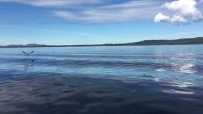 Mouette écrémant l'eau du bateau de pendillement banque de vidéos