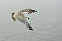 Mouette 5 Images stock