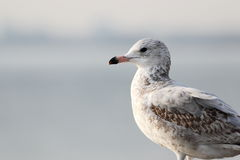 Mouette Photos stock