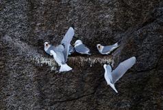 Mouette alimentant dans le nid photo stock