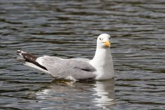 Mouette Anneau-affichée flottant dans l'eau calme Images stock