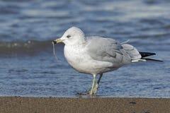 mouette Anneau-affichée mangeant un ver sur une plage du lac Huron Photos stock