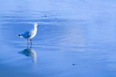 Mouette argentée australienne dans l'eau Photographie stock libre de droits