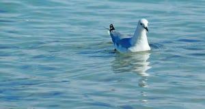 Mouette argentée sur l'eau Images libres de droits