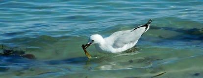 Mouette argentée sur l'eau Photographie stock libre de droits