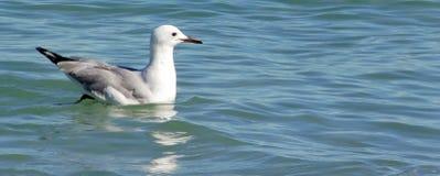 Mouette argentée sur l'eau Photo libre de droits