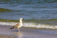 Mouette argentée sur la plage roumaine Image stock