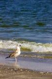 Mouette argentée sur la plage roumaine Photographie stock