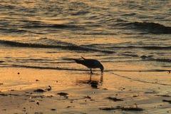 Mouette au coucher du soleil sur une ?le photo libre de droits