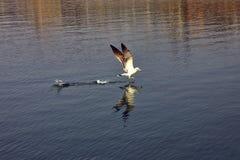 Mouette au-dessus de la baie Photo libre de droits