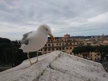 Mouette au-dessus de Rome Photos libres de droits
