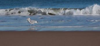Mouette au rivage avec des vagues Photos libres de droits