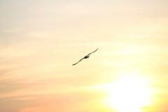 Mouette avec le coucher du soleil à l'arrière-plan Photo stock