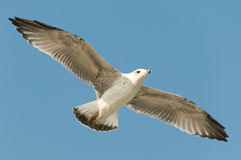 Mouette blanche Image stock