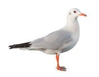 Mouette blanche d'oiseau d'isolement images stock