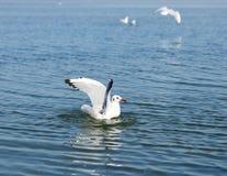 Mouette blanche de mouette flottant en mer Photos libres de droits