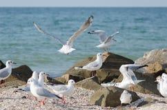 Mouette blanche marchant le long du bord de la mer Photo stock