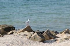 Mouette blanche marchant le long du bord de la mer Image libre de droits