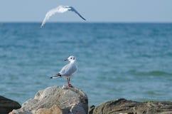 Mouette blanche marchant le long du bord de la mer Images libres de droits