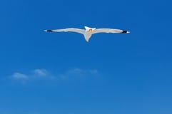 Mouette blanche montant dans le ciel bleu photos stock