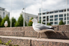 Mouette blanche sur les étapes de granit Photo libre de droits