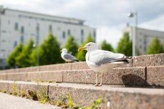 Mouette blanche sur les étapes de ville de granit Photos libres de droits