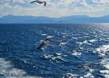 Mouette blanche volant au-dessus du Golfe de Saronic en Grèce Photos stock