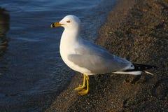 mouette Boucle-affichée sur la plage en matin Sun Image stock