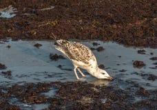 Mouette buvant dans la marée rouge images stock