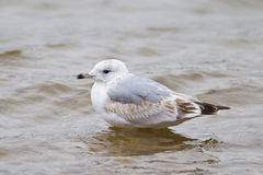 Mouette commune Photos stock