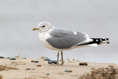 Mouette commune, canus de Larus photo libre de droits