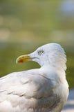 Mouette d'harengs Photo libre de droits