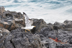 Mouette d'harengs Images stock