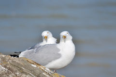 Mouette d'harengs Photo stock
