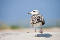 Mouette d'harengs image stock