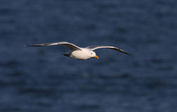 Mouette d'harengs (argentatus de Larus) Photo stock