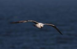 Mouette d'harengs (argentatus de Larus) image libre de droits