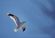 Mouette d'harengs européenne en vol Images libres de droits