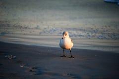 Mouette d'harengs sur la plage Photo libre de droits
