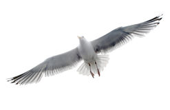 Mouette d'isolement Photographie stock libre de droits