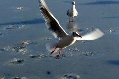 Mouette d'oiseau image libre de droits