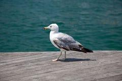 Mouette d'oiseau de mer Photographie stock libre de droits